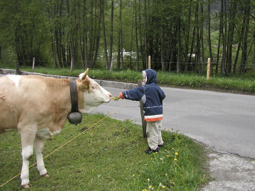 Kind füttert Kuh mit Löwenzahn